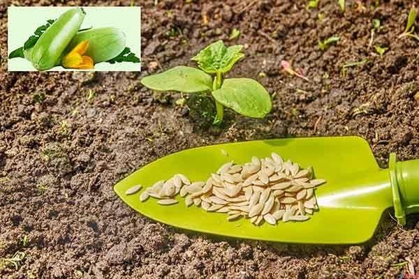 садим кабачки семенами