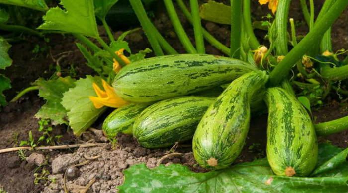 Посев кабачков в открытый грунт