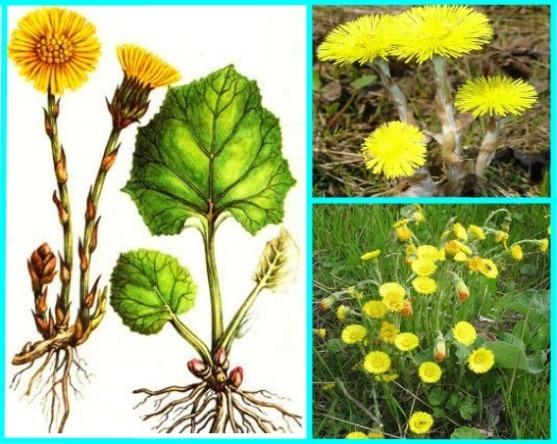 Coltsfoot - medicinal properties