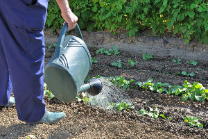 Полив растений в июне