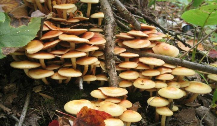 Как растут опята в лесу