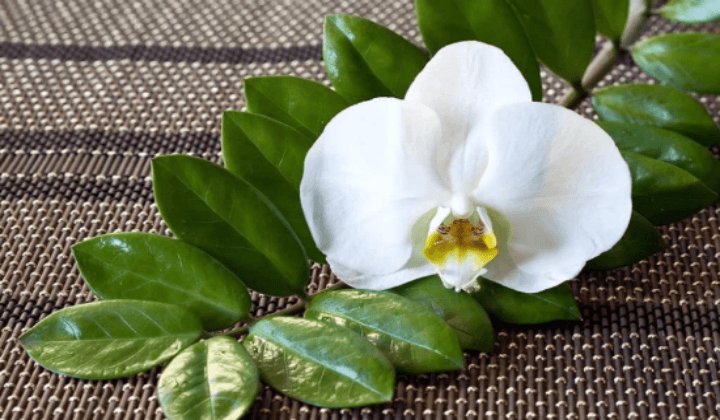 Земиокулькас цветёт