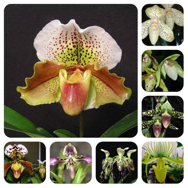 Орхидея Пафеопедилум