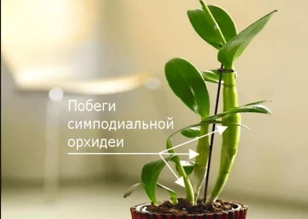 Побеги орхидеи