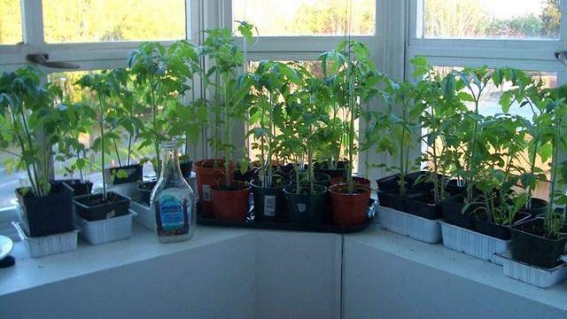 Выращивание рассады на окне