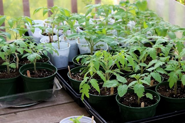 рассада помидоров в горшочках