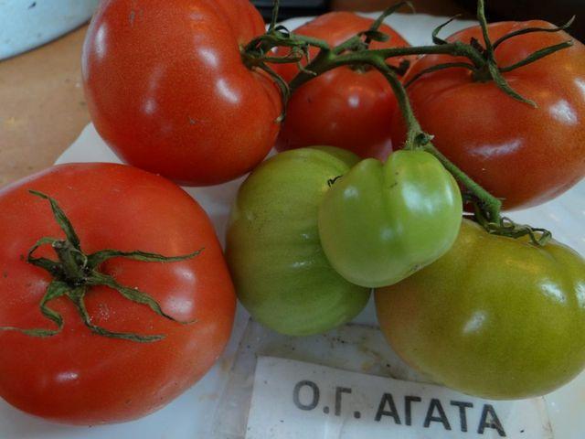Сорт помидоров Агата