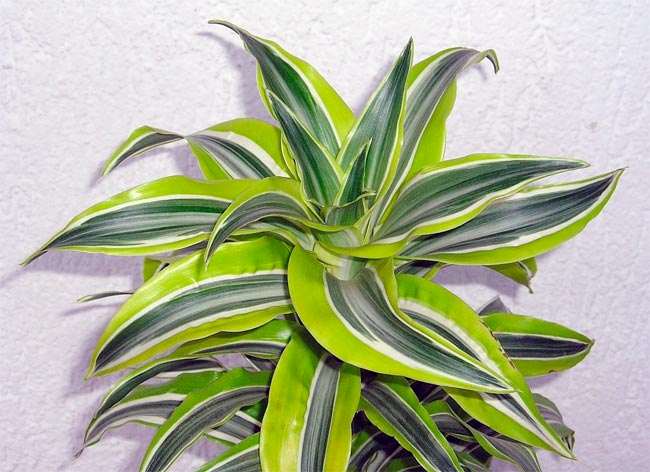 Dracaena: types, photos, titles. All about the care of the dragonza at home: tips and tricks