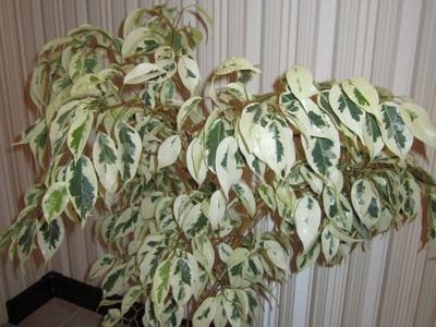 Фикус уход в домашних условиях опадают листья 109