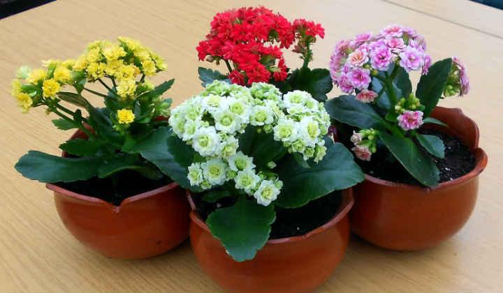 Цветок Каланхоэ, уход в домашних условиях, цветение, пересадка, размножение
