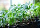 Когда сеять перец на рассаду в 2018 году по лунному календарю и как правильно его высаживать в открытый грунт