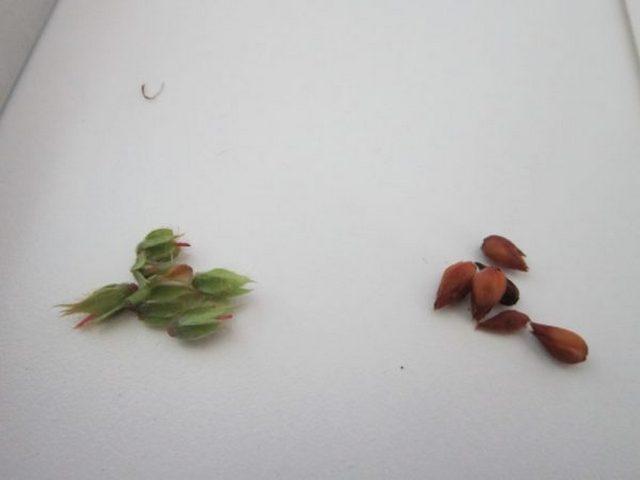 Как сажать азалию семенами 55