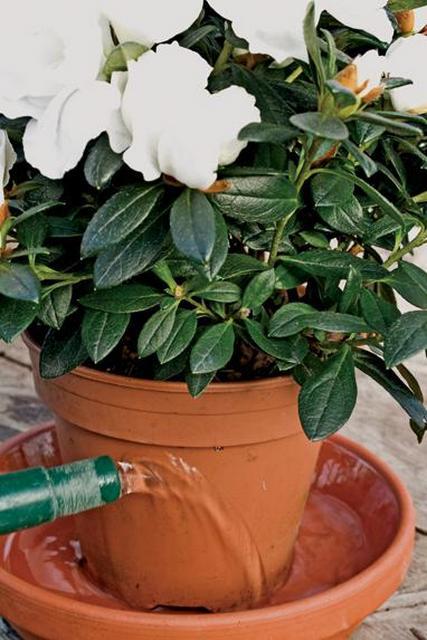Азалия как поливать в домашних условиях