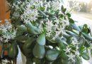 Денежное дерево (толстянка) — уход в домашних условиях, цветение, размножение, пересадка, обрезка