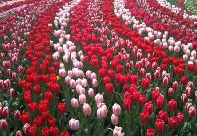 Как посадить тюльпаны весной, чтобы они цвели, уход за цветами