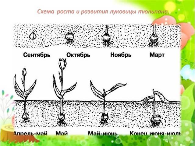 схема роста