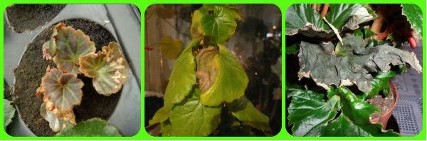begonia dries