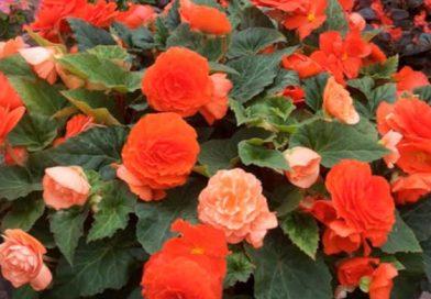 Бегония домашняя, виды и сорта — фото и видео с названием. Выбираем красивый цветок для дома