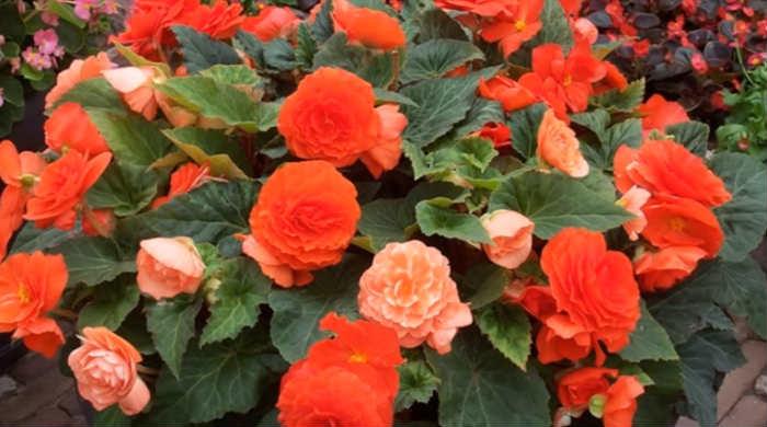 Бегония домашняя, виды и сорта - фото и видео с названием. Выбираем красивый цветок для дома