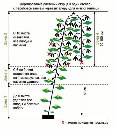 Огурцы на балконе выращивание пошагово прищипывание 34