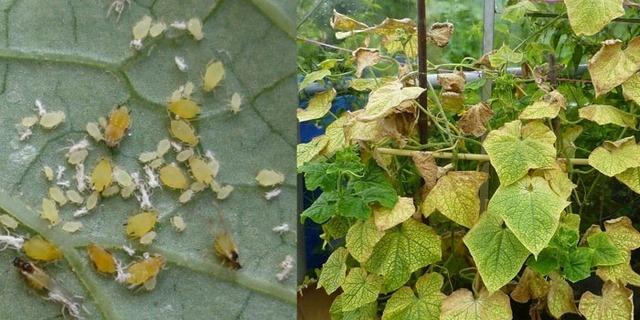 поражение листьев тлёй