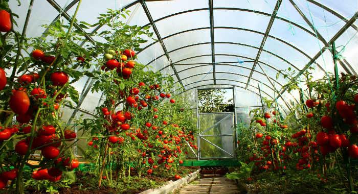помидоры в теплице