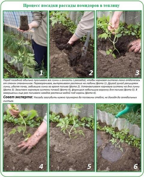 процесс посадки помидоров