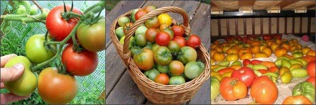 хранение помидоров