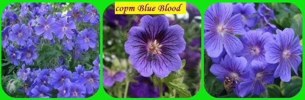 сорт Blue_Blood