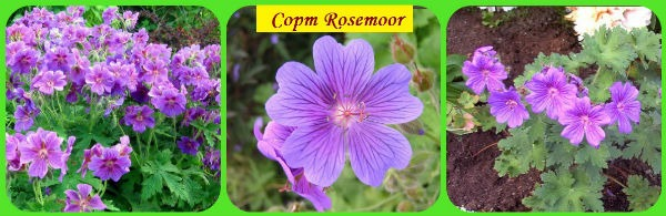сорт Rosemoor