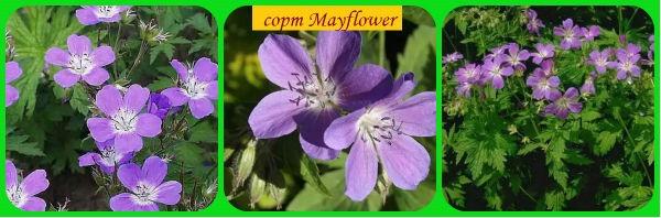 сорт герани Mayflower