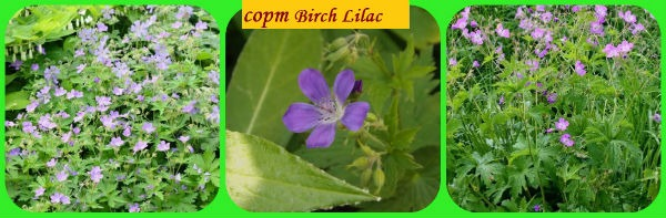 герань Birch Lilac