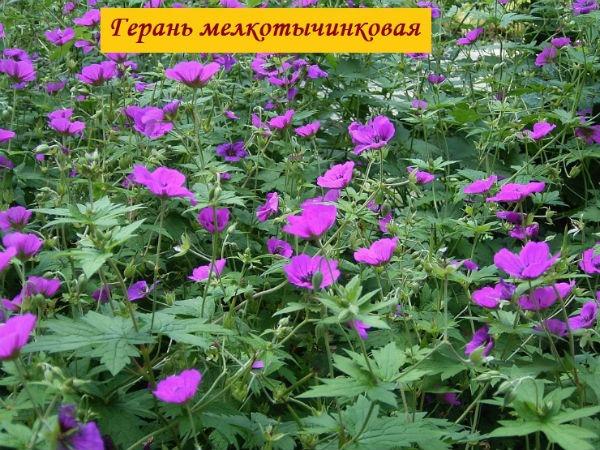 герань мелкотычинковая