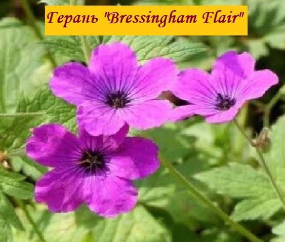 сорт Bressingham Flair