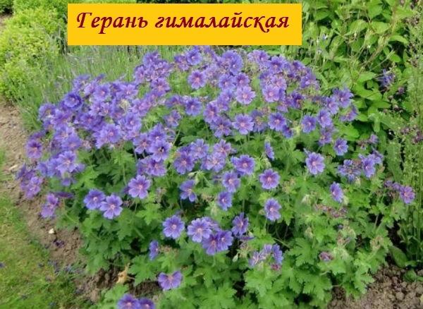 Герань садовая многолетняя - виды и сорта с описанием и фотографиями