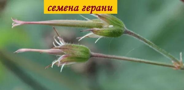 семенная коробочка герани