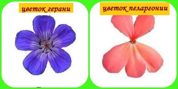 цветы герани и пеларгонии