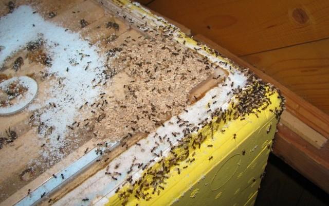 муравьи в улье