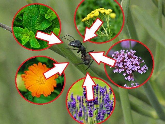 растения отпугивающие муравьёв