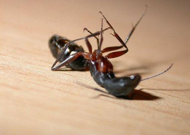 Как избавиться от муравьев черных в доме народными средствами