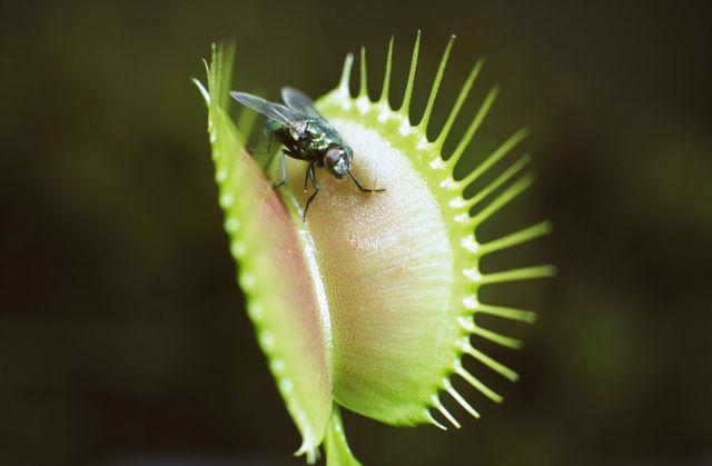 растения от мух