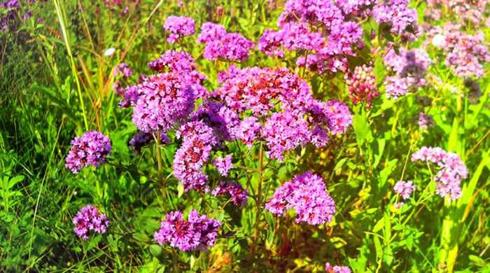 Цветы душицы
