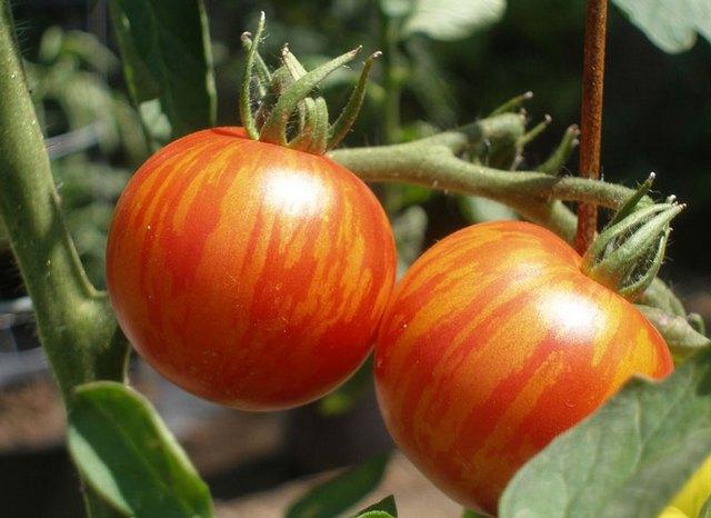 помидоры на кустах