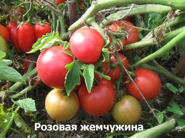 сорт помидоров Розовая жемчужина