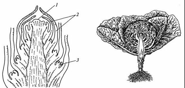 структура кочана капусты