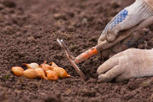 Как и когда сажать (садить) лук севок в 2019 году, выращивание и уход в открытом грунте