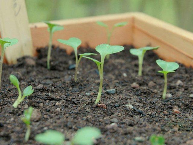 ростки рассады капусты