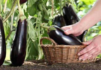 Баклажаны на рассаду: когда сеять и высаживать баклажаны в 2019 году по лунному календарю.