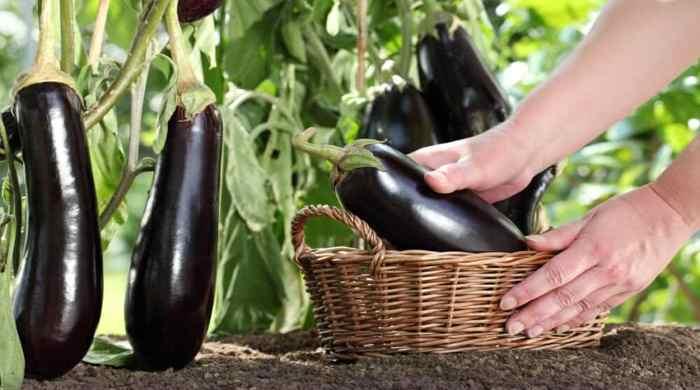 Как сажать баклажаны на рассаду и когда