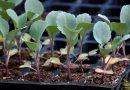 Когда и как сажать капусту на рассаду в 2019 году по лунному календарю и высаживать в открытый грунт